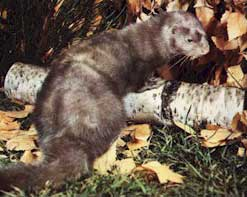 This is a mink
