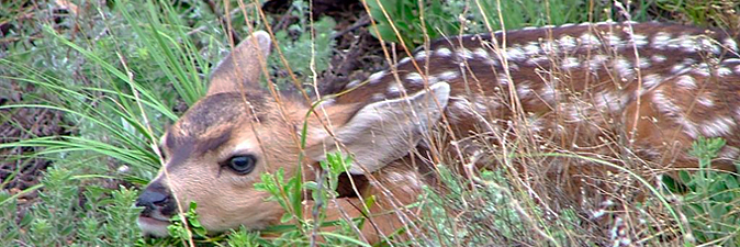 Deer fawn camouflaged in grass waiting for doe to return