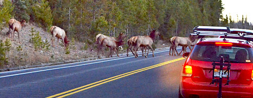 Elk herd crossing road in front of car at dusk