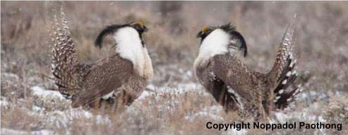 Two Gunnision sage-grouse displaying. Copyright Noppadol Paothong