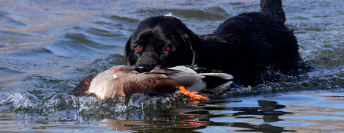 A Lab retrieves a mallard duck. Photo by Jerry Neal/CPW.