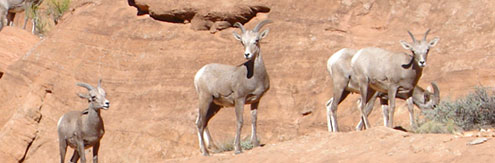Desert Sheep