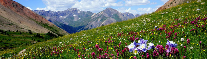Flowery mountain meadow in Colorado