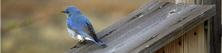 Male mountain bluebird on nest box
