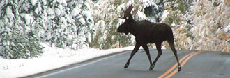 Moose crossing road in winter