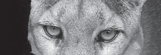 Close up on mountain lion's eyes