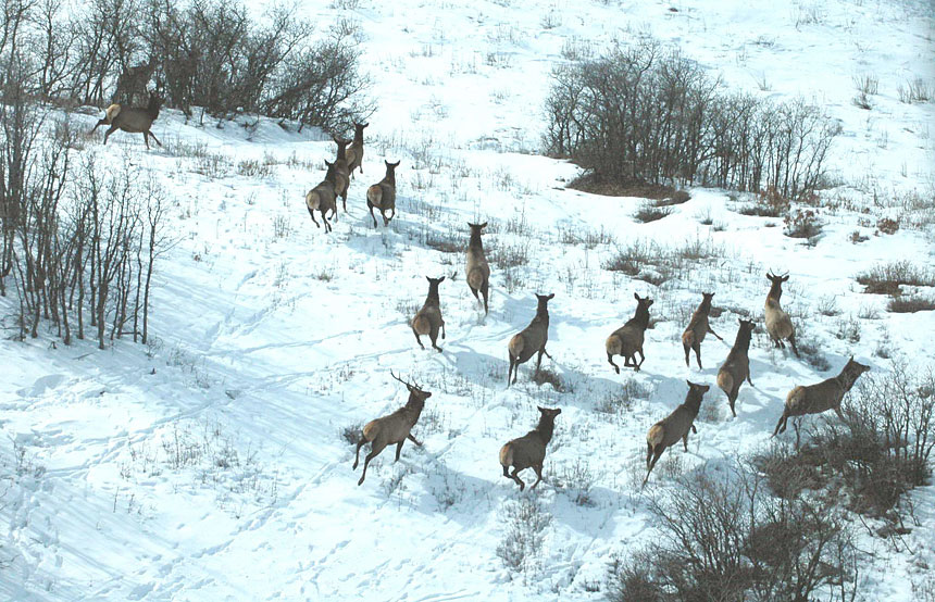 Elk Herd from Aerial Inventory View