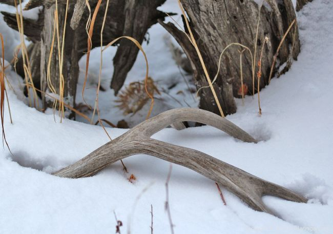 Buck Deer Antler Shed in Snow; Photo by David Hannigan