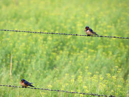 Barn swallows sit on a barbed wire fence.