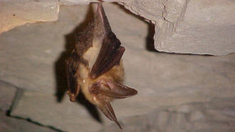 Bat hanging in cave