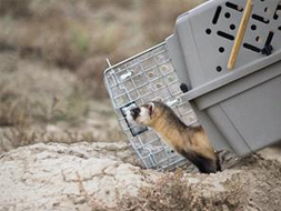 Black Footed Ferret release.