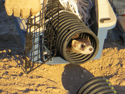 A black-footed ferret is released.