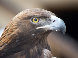 Golden eagle close up.