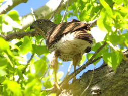 A juvenile cooper's hawk at Lathrop State Park.