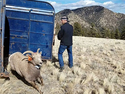 Sheep released from trailer