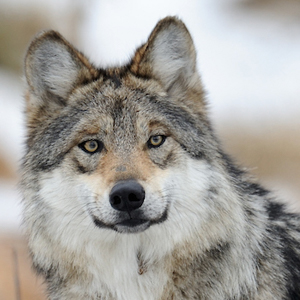 Close up image of the face of a gray wolf. Photo by Gnagel.