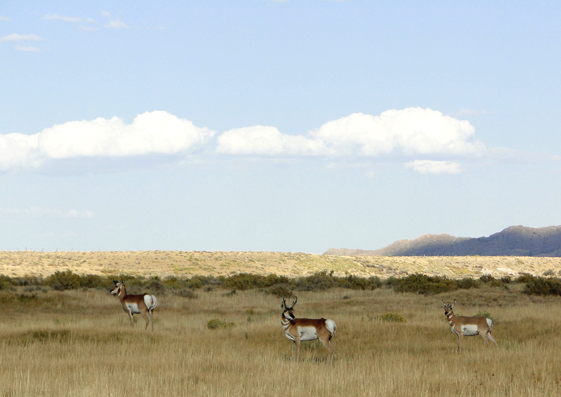 Three pronghorn on the pairie.