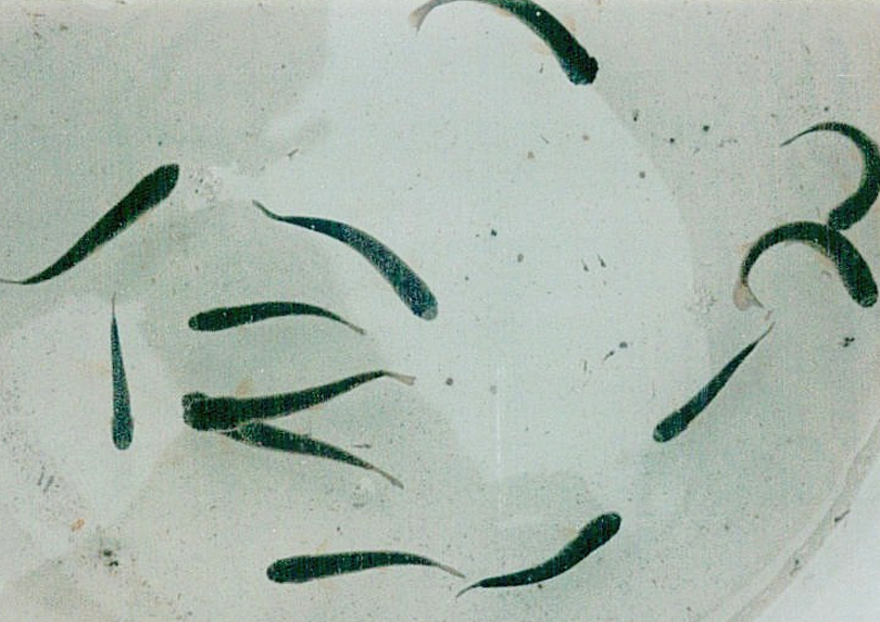 Raimbow trout fry exhibiting whirling disease.