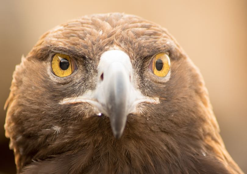 Golden eagler closeup.