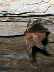 Townsends Big Eared Bat.