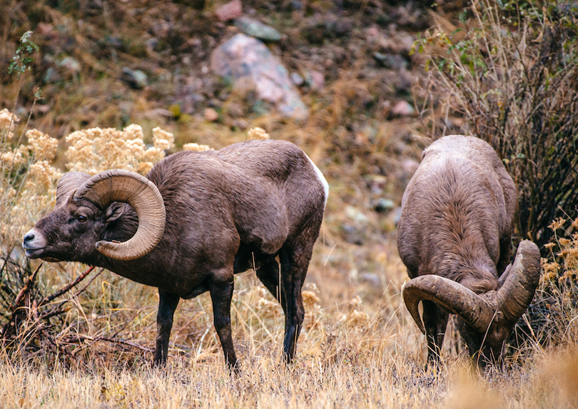Two bighorn sheep rams.