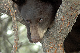 A black bear peering from a tree notch. Photo © Estes Park News/Hazelton; used with permission.