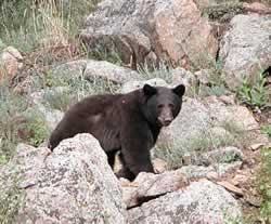 Black bear walking through boulders. Photo © Estes Park News/Hazelton; used with permission.