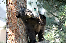 Bear helping itself to bird food. © Estes Park News/Hazelton; used with permission.