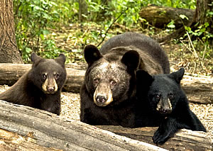 A black bear sow and her cubs. Photo © John Derych; used by permission.