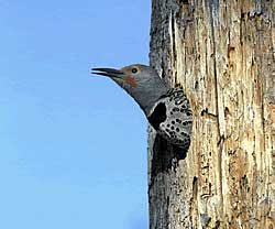 A northern flicker in a 'natural habitat'. Photo courtesy of the USFWS.