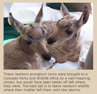 Pronghorn twins in rehab