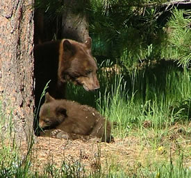 Black bear sow and cub. Photo © CPW/M.Seraphin.
