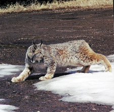 A lynx moving across a partial snowfield. DOW photo.