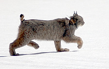 A lynx walking across snow. DOW photo.