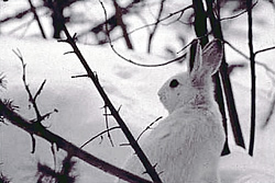 A snowshoe hare/CPW