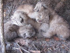 Lynx kittens born in Colorado in 2010. Tanya Shenk, CPW.