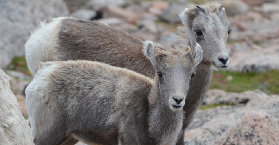 Two juvenile bighorn sheep.