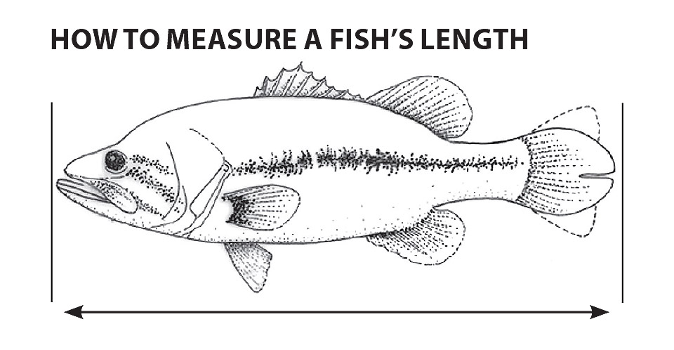 How to measure fish graphic