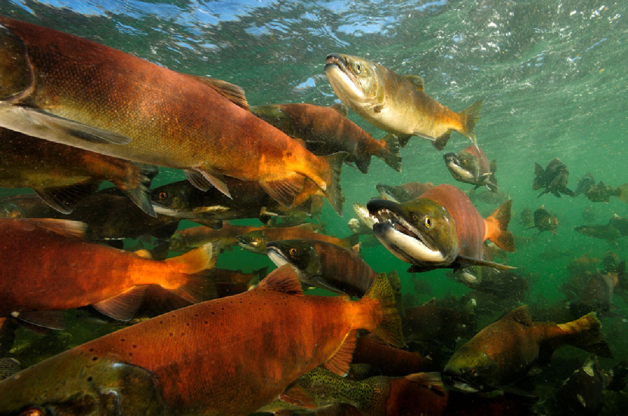 Kokanee salmon swimming underwater at Blue Mesa Reservoir