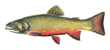 Brook Trout © Joseph R. Tomelleri