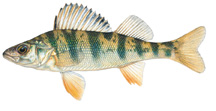 Yellow Perch © Joseph R. Tomelleri