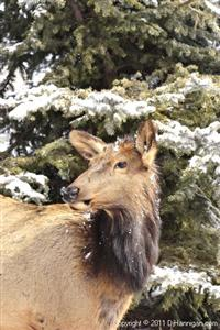 Cow Elk in Winter, Photo by David Hannigan