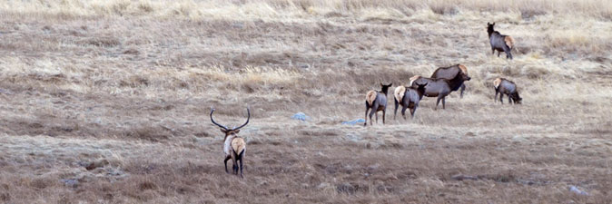 Bull elk with cow herd