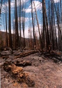 Trees Burnt in the 2002 Big Fish Fire © L.Hinkle/CPW