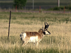 Pronghorn by fence.