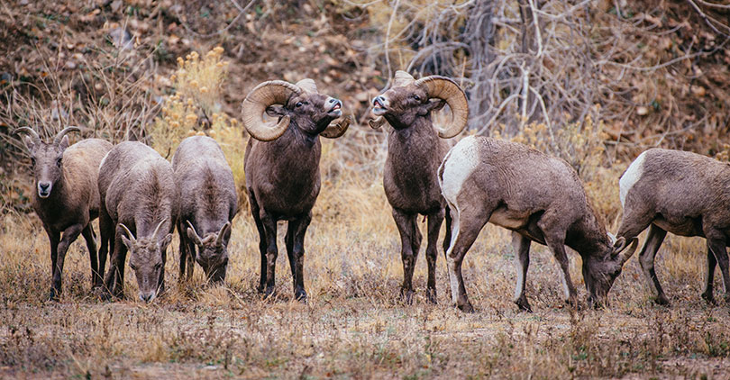 Bighorn Sheep Herd in Waterton Canyon