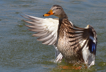 A mallard duck landing on water