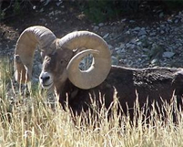 World-class bighorn sheep ram