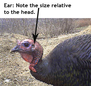Turkey hen head - showing ear size