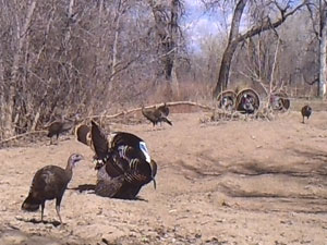 Toms and hens caught on trail camera.